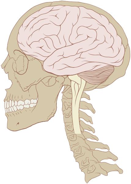 429px-Skull_and_brain_normal_human.svg
